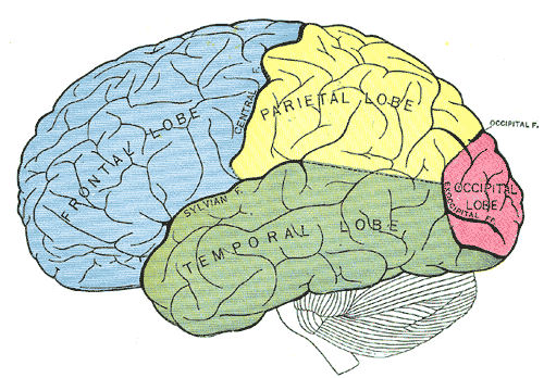 Principal fissures and lobes of the cerebrum viewed laterally, Frontal Lobe, Parietal Lobe, Temporal Lobe, Occipital Lobe