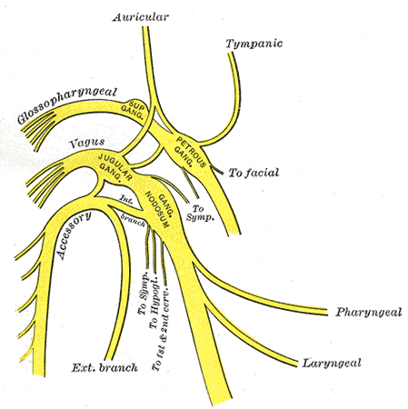 The Glossopharyngeal Nerve, Plan of upper portions of glossopharyngeal; vagus; and accessory nerves