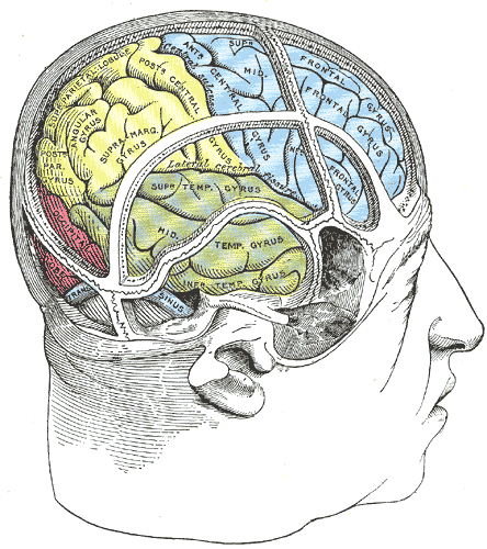 Drawing of a cast by Cunningham to illustrate the relations of the brain to the skull; Temporal Lobe, Occipital lobe, Frontal lobe