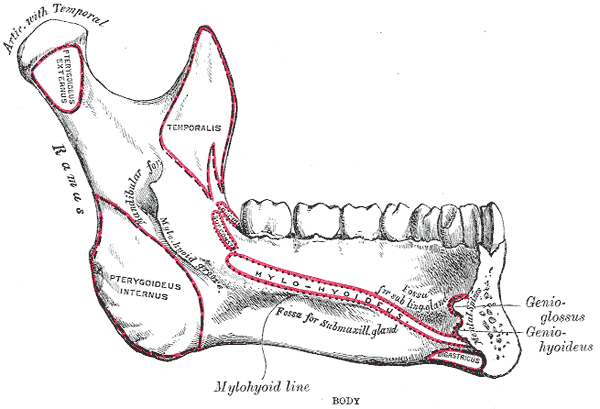 Side View of the Mandible; Interior View, Lower Jaw
