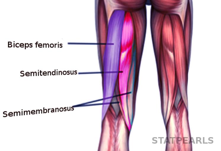 Anatomy, Bony Pelvis and Lower Limb, Thigh Semitendinosus ... | 746 x 511 png 252kB